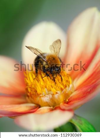 Honey bee (Apis mellifera) with pollen in its pile sitting on an orange dahlia flower, macro, shallow dof