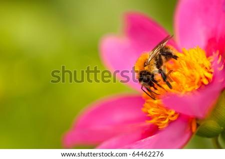 honey bee at work - stock photo