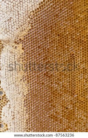 Honey bee cells - stock photo