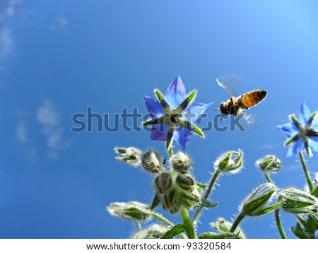 honey bee collecting nectar from a borage's flower. Macro image - stock photo
