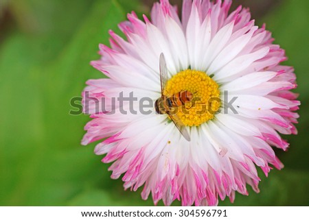 honey bee collecting nectar on a flower - stock photo