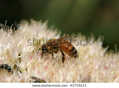 honey bee collecting pollen from a white sedum