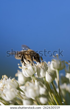 Honey bee collecting pollen from flowers white - stock photo