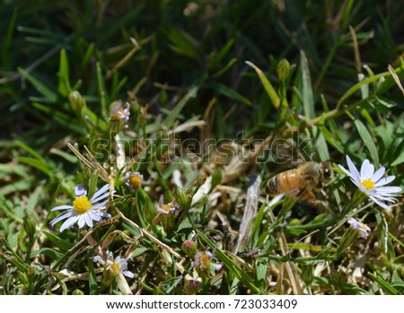 Honey Bee collecting pollen from small white flowers in grass