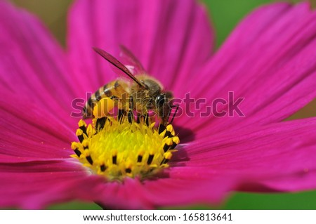 Honey bee collecting pollen on a pink daisy