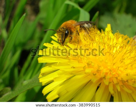 Honey bee collecting pollen on the yellow dandelion flower