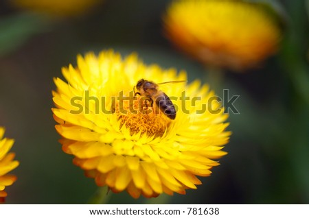 Honey Bee collecting pollen on Yellow Everlasting Daisy(Brachteantha brachteata), also commonly known as Paper Daisy