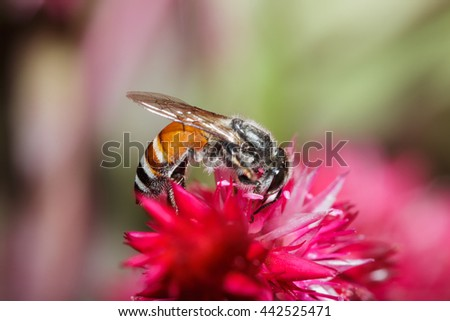 Honey bee collects on flowers nectar - stock photo
