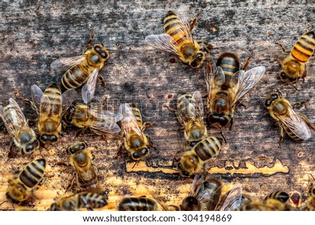 Honey bee drone trying to enter the hive on a landing board - stock photo