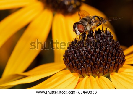 honey bee feeds on the pollen of a black eyed susan; macro view shallow focus background consist of out of focus black eyed susan - stock photo