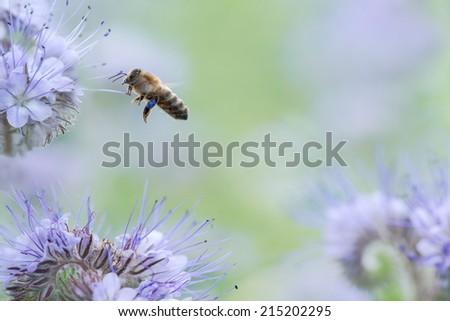 Honey bee flying over a Phacelia Tanacetifolia flower field - stock photo