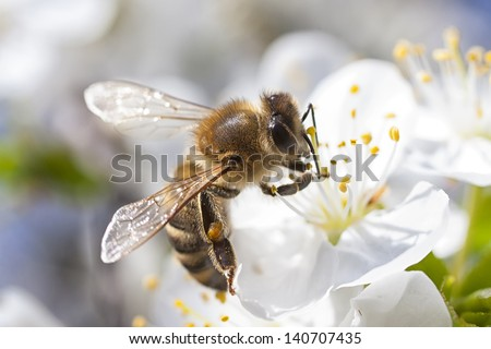 Honey Bee harvesting pollen from Cherry Blossom - stock photo