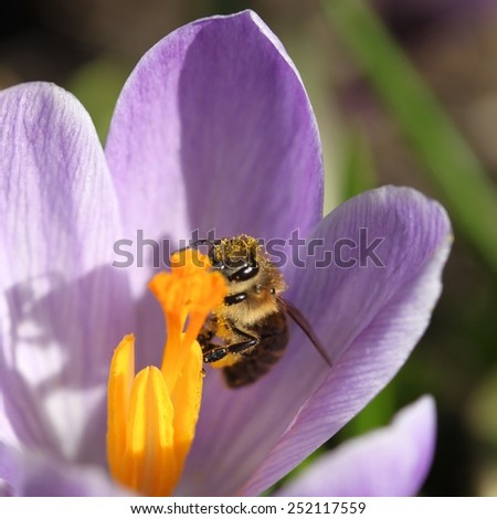 Honey bee in a crocus flower. Spring in Poland. - stock photo