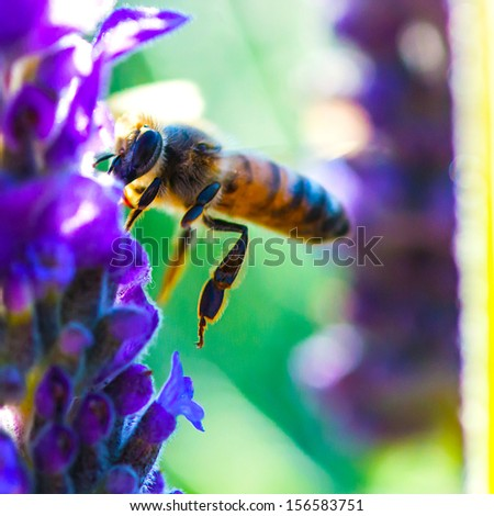 Honey Bee in Fly