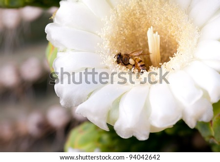 Honey Bee in Saguaro Cactus Blossom - stock photo