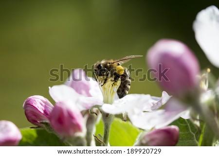 honey bee is sitting on a apple tree - stock photo