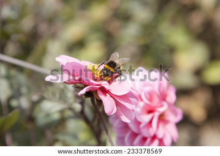 Honey Bee on a Pink Flower  - stock photo