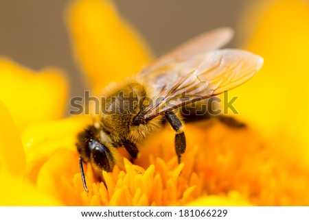 Honey bee on a yellow flower with natural background