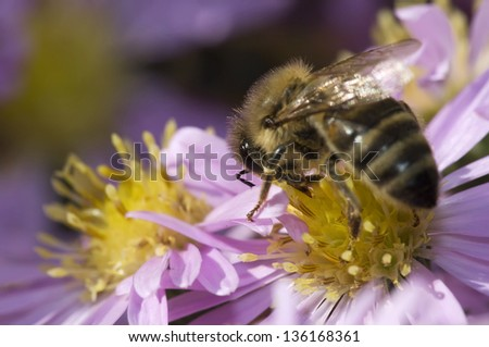 Honey bee on beautiful purple flower