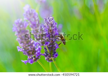 Honey bee on blooming Lavender bush in a shallow depth of field backlight is soft sunlight filled. Traditional European Mediterranean Agriculture. Blurred summer background of lavender flowers. - stock photo