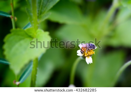 Honey Bee on Coat buttons flower or Mexican daisy, Close Up Macro - stock photo
