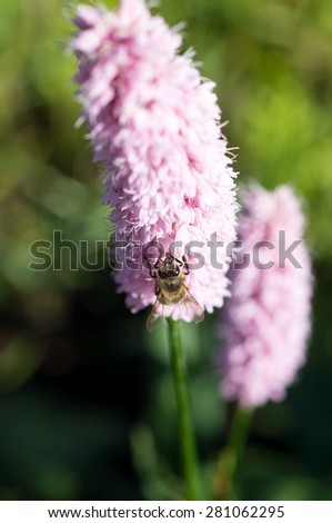 Honey bee on flower; Shalow depth of field; Focus on bee - stock photo