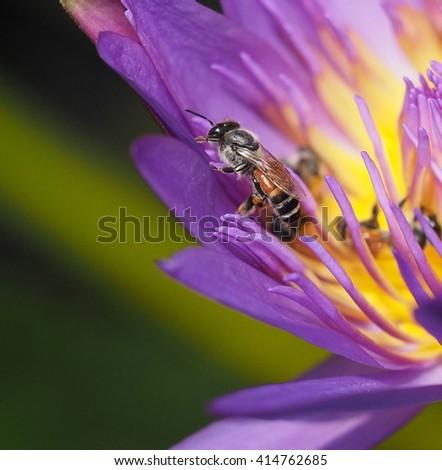 honey bee on purple waterlily - stock photo