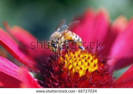 Honey bee on red flower collecting pollen - stock photo