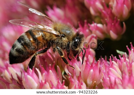 Honey Bee on Sedum Flower
