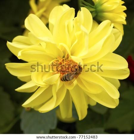 honey bee on yellow dahlia flower closeup - stock photo
