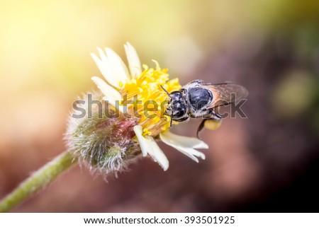 Honey Bee on Yellow Flower, Close Up Macro  light yellow-orange. - stock photo