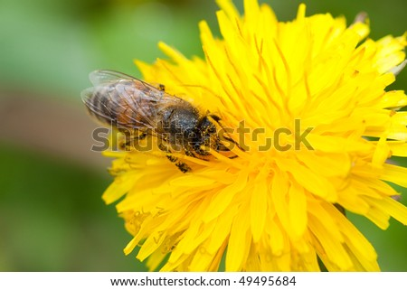 Honey bee on yellow flower collecting pollen - stock photo