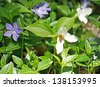 Honey bee pollinates a trillium in the forest - stock photo