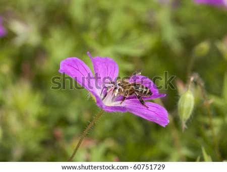 Honey bee pollinating on purple flower. Macro photo. - stock photo