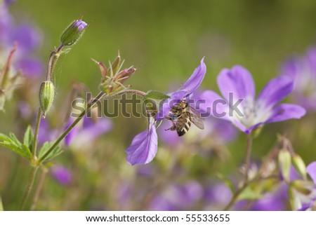 Honey bee pollinating on wood cranesbill. - stock photo