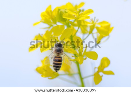Honey Bee Pollinating on Yellow Flower. - stock photo
