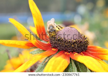 Honey bee pollinating yellow flower in the garden - stock photo