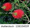 honey bee red bottlebrush Callistemon flower nectar fly flying - stock photo