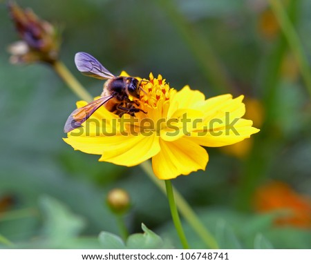 Honey bee sits on an yellow flower - stock photo