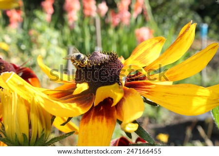 Honey bee sitting on yellow flower and pollinating this flower - stock photo