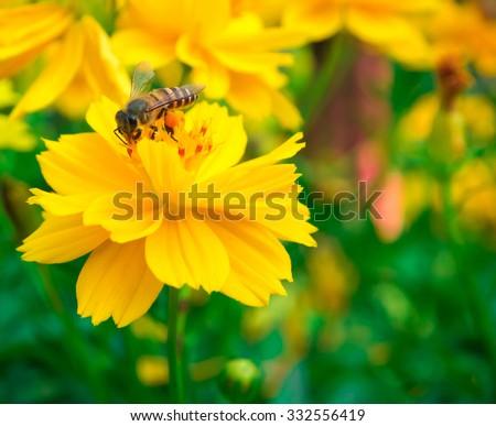 Honey bee suck yellow flower nectar focus on - stock photo