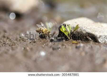 Honey bee - water collecting - stock photo