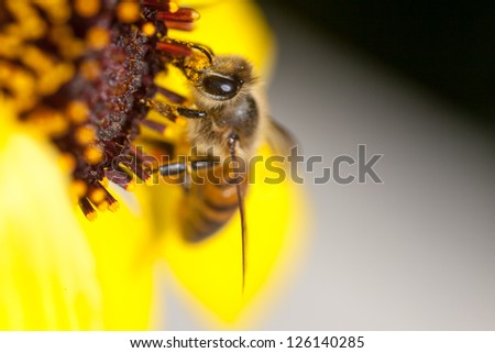 Honey bee with great detail on yellow flower collecting pollen