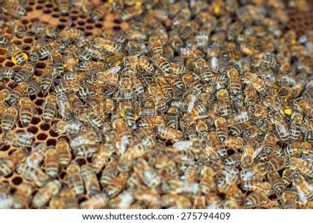 Honey bees and honeycomb - stock photo