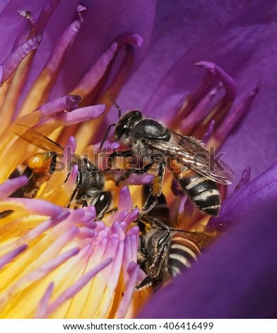 honey bees collecting nectar on purple water lily