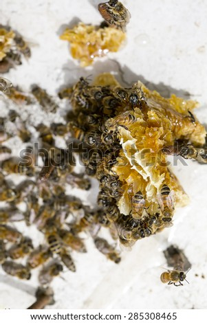 Honey bees feeding on excess honey from hive. - stock photo