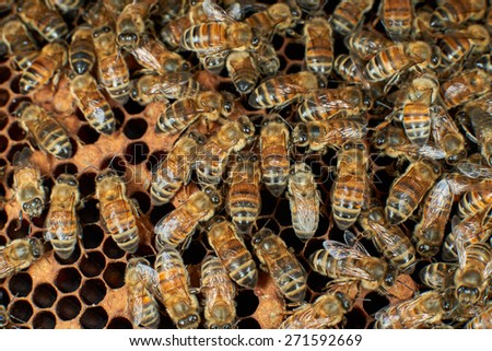 Honey bees on honeycomb - stock photo