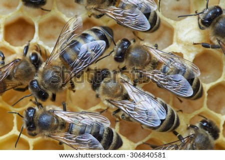 Honey bees over larva in the honeycomb - stock photo