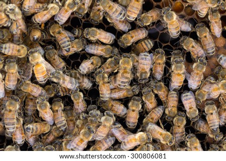 Honey bees share a taste of nectar and honey to pass on information to other worker bees. This is called Trophallaxis or food sharing. - stock photo