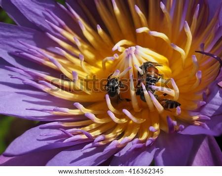 honey bees sucking nectar from lotus blossom close up - stock photo